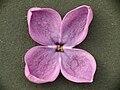 Lilac blossom Fliederblüte Syringa vulgaris 04.jpg