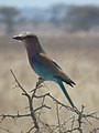 Lilac breasted roller in Tanzania 0562 cropped Nevit.jpg