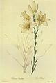Lilium candidum in Les liliacees.jpg