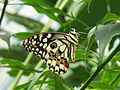 Lime Butterfly (Papilio demoleus) in Butterfly Park, Bannerghata National Park, Bangalore, India.jpg