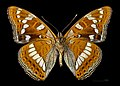 Limenitis populi MHNT CUT 2013 316 Condat (Cantal) Ventre.jpg