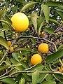 Limon bahçesinde taze limon agaci.jpg