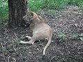 Lion from Bannerghatta National Park 8494.JPG