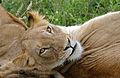 Lioness (Panthera leo) (17317424266).jpg