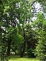 Liriodendron tulipifera Syrets5.JPG