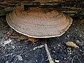 Lisse - Keukenhofbos - Platte tonderzwam (Ganoderma lipsiense).jpg