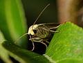 Lithosia quadra 01.jpg
