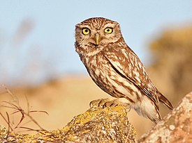 Little Owl Spain.jpg