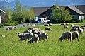 Livestock117 (37988216985).jpg