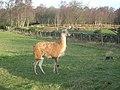 Llama - geograph.org.uk - 306835.jpg