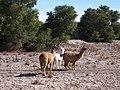 Llamas in Tamarugo desert forest - panoramio.jpg