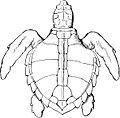 Logger-head Turtle-TSF 0018.jpg