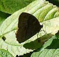 Long-brand Bushbrown.^ Mycalesis visala - Flickr - gailhampshire.jpg