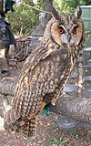 Long ear owl shandong