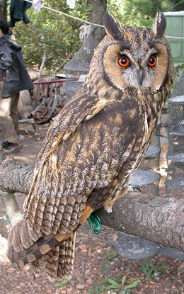 Long ear owl shandong.jpg