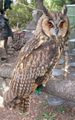 Long ear owl shandong.jpg