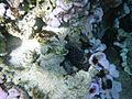 LordHoweIsland NorthBay Reef 22.JPG