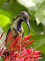 Loten's Sunbird Immature Male (Cinnyris lotenius) (18570511784).jpg