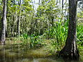 Louisiana Swamp 2 (8729909022).jpg