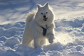 Lulu - Samoyed in Snow.jpg