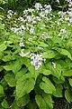 Lunaria rediviva kz02.jpg