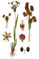 Luzula multiflora Sturm 01024.png