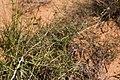 Lycium berlandieri - Flickr - aspidoscelis.jpg