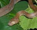Lycodryas maculatus (Günther, 1858) female from Anjouan (ZSM 40-2010).png