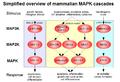 MAPK-pathway-mammalian.png