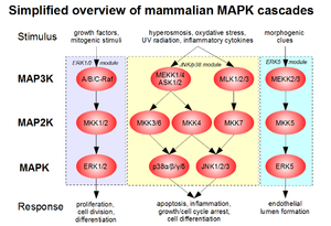 Mitogen-activated protein kinase - A simplified overview of MAPK pathways in mammals, organised into three main signaling modules (ERK1/2, JNK/p38 and ERK5).