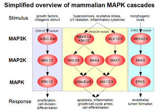 Glutathione S-transferase - A simplified overview of MAPK pathways in mammals, organised into three main signaling modules (ERK1/2, JNK/p38 and ERK5).