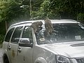 Macaque Monkeys from Monkey Hill, Phuket, Thailand (45919495081).jpg
