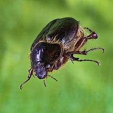 Macro-fotografía de un escarabajo.jpg