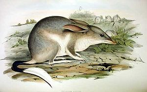 Easter Bilby - A bilby as illustrated by John Gould