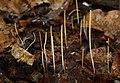 Macrotyphula filiformis Binsenkeule.jpg