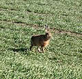 Mad March Hare - geograph.org.uk - 712029.jpg
