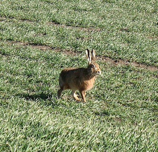 Mad March Hare - geograph.org.uk - 712029