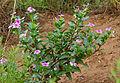 Madagascar Periwinkle (Catharanthus roseus) (11755659656).jpg