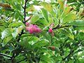 Magnolia × soulangeana - 20120828.jpg