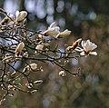Magnolia a.jpg