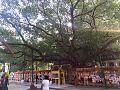 Maha Bodhi tree 2.jpg