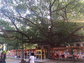 Ficus religiosa - The Bodhi Tree at the Mahabodhi Temple. Propagated from the Sri Maha Bodhi, which in turn is propagated from the original Bodhi Tree at this location.