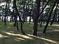 Maiko Pine Grove 4.JPG