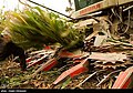 Maize Iran 21.jpg