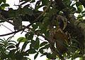Malabar Grey Hornbill (Ocyceros griseus ) feeding on Jackfruit 3 (2). Goa.jpg