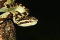 Malabar pit viper Agumbe.jpg