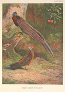 Malay Argus Pheasant by Archibald Thorburn.png