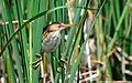 Male Least Bittern (Ixobrychus exilis) straddling the cattails (18708900858).jpg
