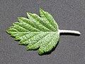 Malus florentina Italienischner Zierapfel 03.jpg