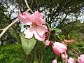 Malus hupehensis - Copenhagen Botanical Garden - DSC07650.JPG